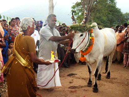 Jallikattu, Jallikattu ban, Jallikattu game, what is Jallikattu, Jallikattu culture, Jallikattu history, News, Tamil Nadu
